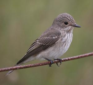 Spotted Flycatcher, credit Ian Simons, Blakeney Point, 24 08 07