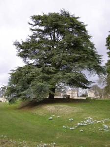 atlantic cedar-credit-geograph-org-uk