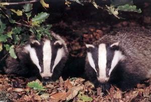 badger-cedit-dailymail-co-uk