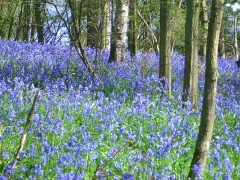 bluebell-woods-credit-english-country-garden