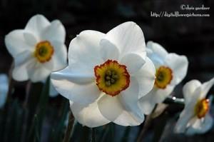 daffodil-credit-digital-flower-pictures-dot-com