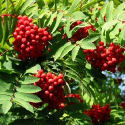 mountain-ash-tree-credit-trees-online-dot-couk
