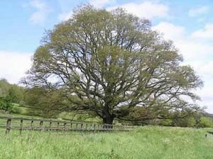 oak_tree_-credit-bbc