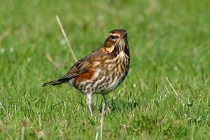 redwing-credit-galleryofbirds-dot-com