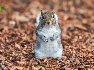 squirrel-in-leaves-credit-nature-desktop-com